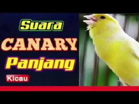 Download Lagu Suara Kenari Gacor Panjang Tanpa Putus DOWNLOAD Sang Juara