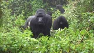 Gorillas in Rwanda charging