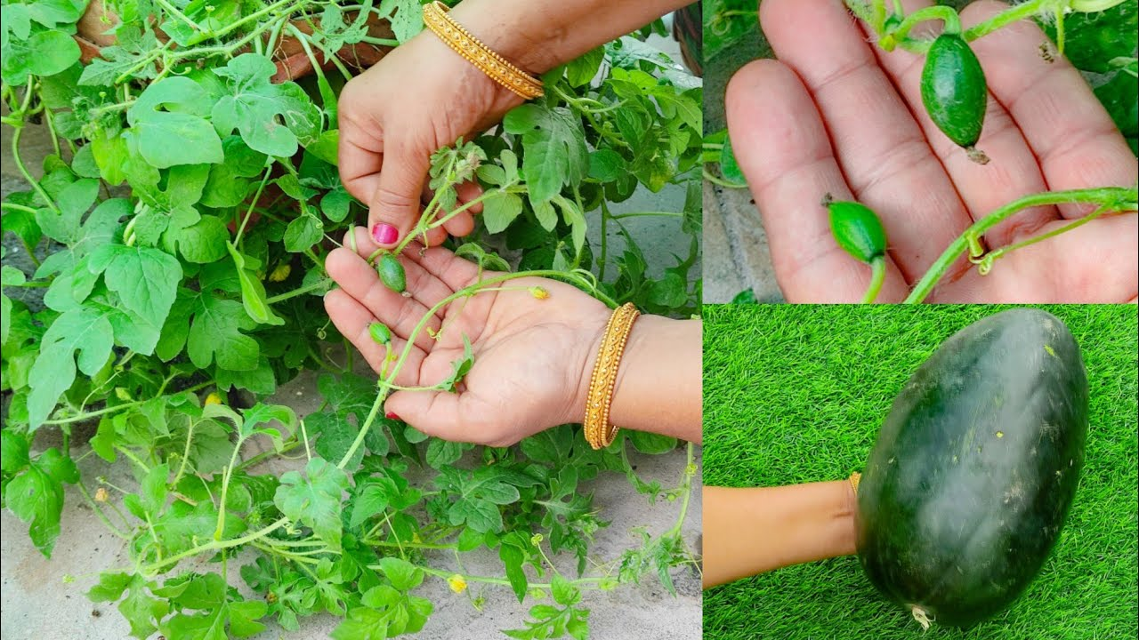 तरबूज को बीज से गमले में उगाने का सबसे सटीक तरीका   तरबूज का पौधा घर पर कैसे लगाएं? Watermelon