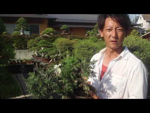 Taishoen Bonsai nursery, Japan