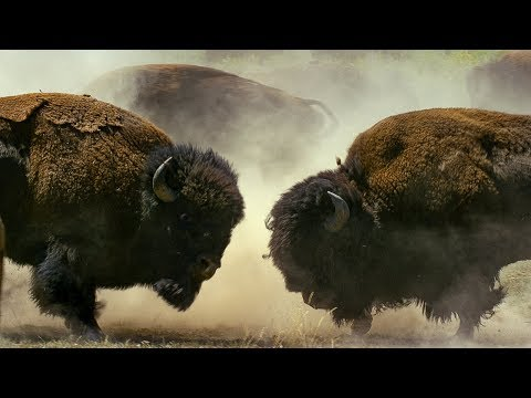 Male Bison Fight for Harem Rights | BBC Earth