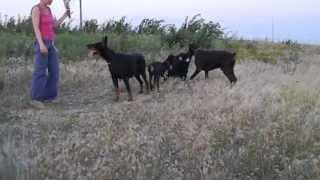 Щенки добермана - 3 мес.(КА Центурион - Флорис Александрия Феррара)