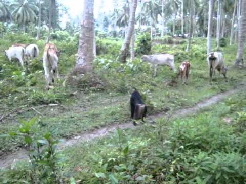 Kera Hutan penggembala Sapi di Sulawesi Tengah