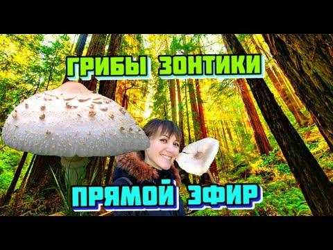Как отличить гриб зонтик от ядовитого
