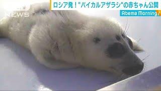ヨチヨチと・・・ バイカルアザラシの赤ちゃん公開(19/05/16)