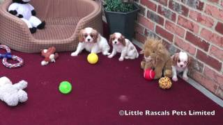 Little Rascals Cavalier King Charles Puppies