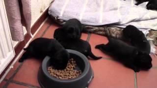 Labrador Retriever Welpen 17 Tage Alt