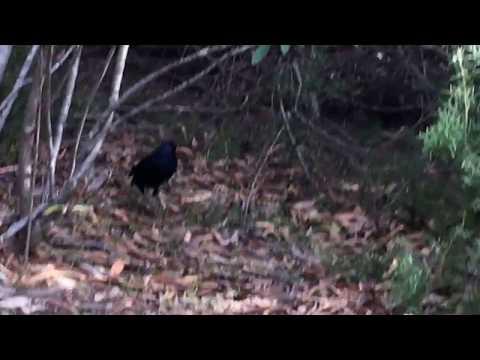 Satin bowerbird heading into the bush