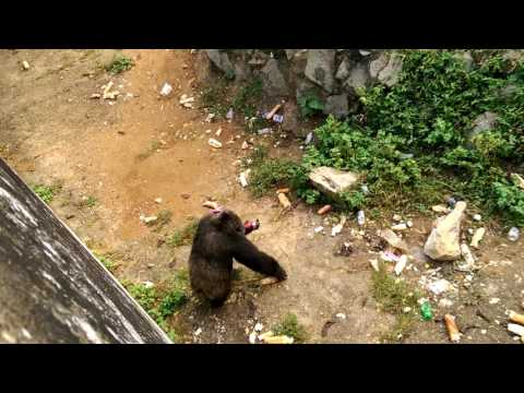 A Monkey Dancing for food