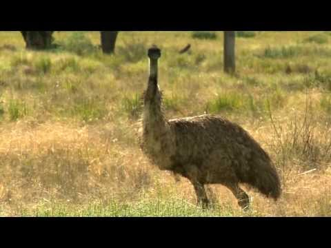 Emus - with Dr. Dave