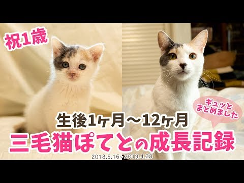 【祝1歳】三毛猫ぽてと・生後1ヶ月〜12ヶ月の成長記録まとめ