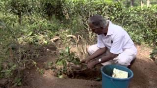 Promoting Sustainability in the Tea Plantations of Sri Lanka
