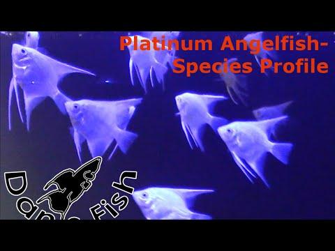 Angelfish Platinum - Species Profile