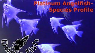 Angelfish Platinum Species Profile