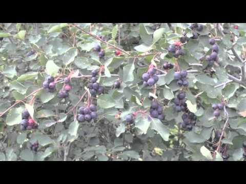 how to clean saskatoon berries