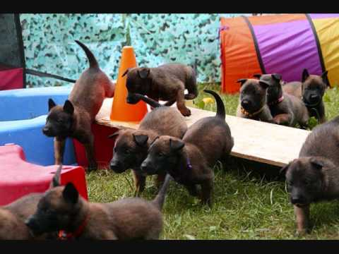 Absolute K-9 Service (Belgian Malinois Puppies)