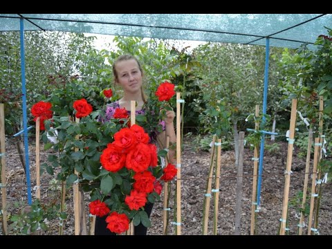 Розы Дэвида Остина.wmv - YouTube