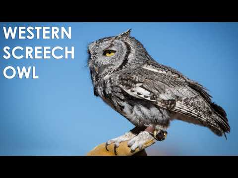 What does a Screech Owl sound like?