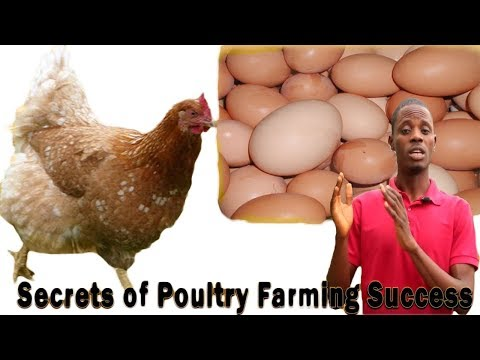 Poultry Farming in Nigeria (+ Free Practical Training on Our Farm)