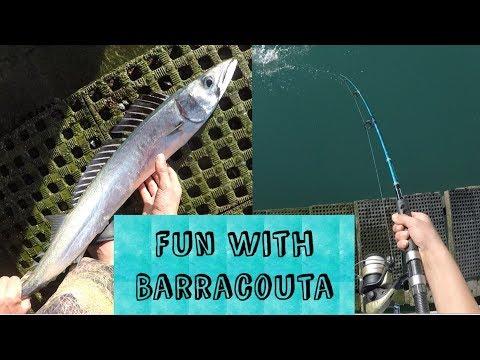 Barracouta In Lyttleton | Lyttleton Harbour Fish NZ