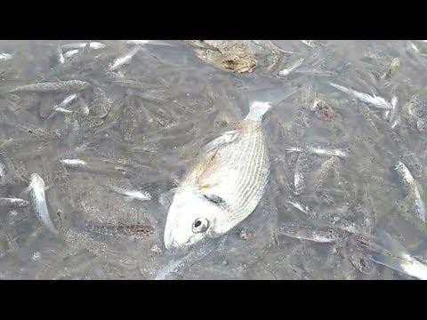 Miles de peces aparecen muertos en el Mar Menor