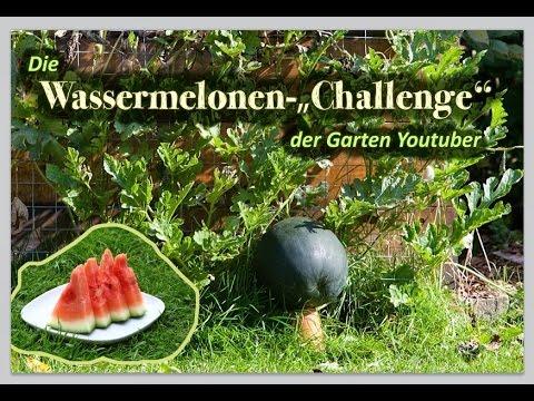 Extraorbitant Süße Wassermelonen Erfolgreich Anbauen Und Ernten