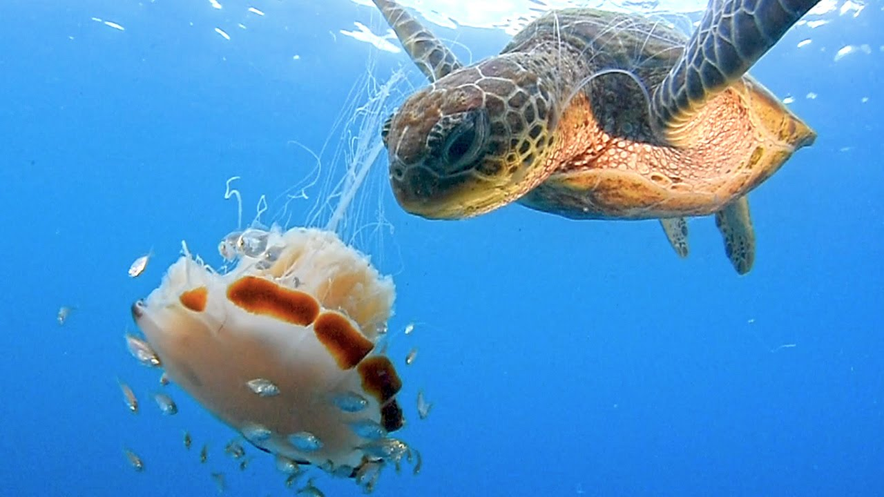 Hungry turtle eats lion mane jellyfish youtube for What do jelly fish eat