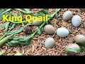 3 Triệu đồng khởi nghiệp mô hình nuôi chim cút kiểng | King Quail