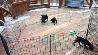 Rescue Pups - Labrador Retriever And Terrier Mix?  Black Puppies! Available