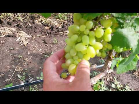 20160722 Виноград Краса Дона