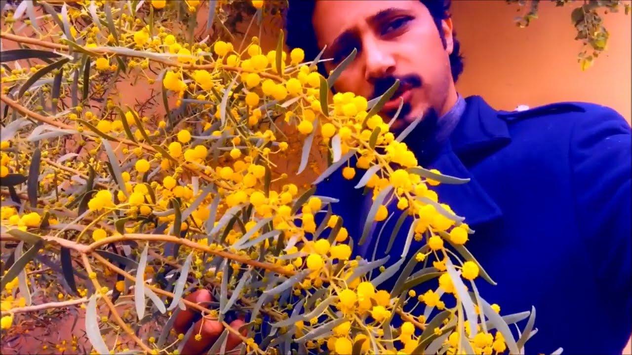 شجرة النحل ورئحة العسل السمر المظلي Acacia ligulata Australian tree