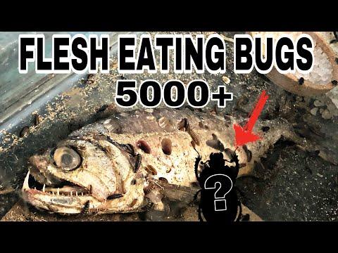 FLESH EATING BEETLES REALLY WORK!!! FISH Bone EXPERIMENT
