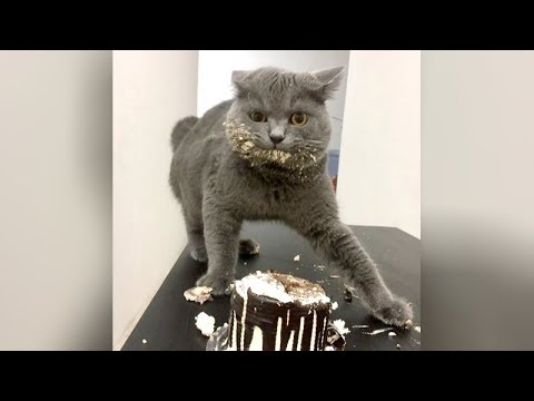 Best HIGHLIGHTS of FUNNY KITTY CATS - LAUGH to TEARS NOW!