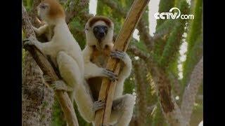 Dancing lemurs of Madagascar| CCTV English