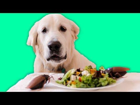 Dog vs Cockroaches Prank - Golden Retriever Puppy Bailey