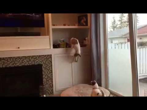 Skoki, my Jumping Jack Russell