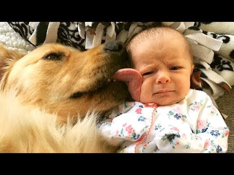 Funny Golden Retriever and Baby Compilation 2017