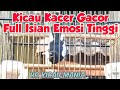 Kicau Kacer Gacor Full Isian Emosi Tinggi  Mp3 - Mp4 Download