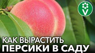 Собираю ПЕРСИКИ ВЕДРАМИ! Мои секреты выращивания персиков и нектаринов