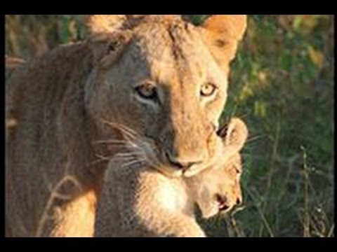 Lioness Carrying Her Cub - 30 June 2013 - Latest Sightings