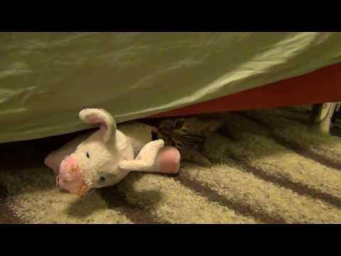 Bengal Gremlin Kitten Loves Her Pig
