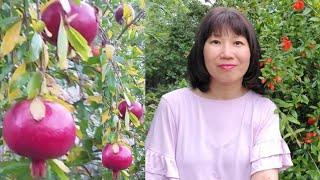 Bí quyết trồng lựu sai trĩu quả (Người Việt ở Mỹ)