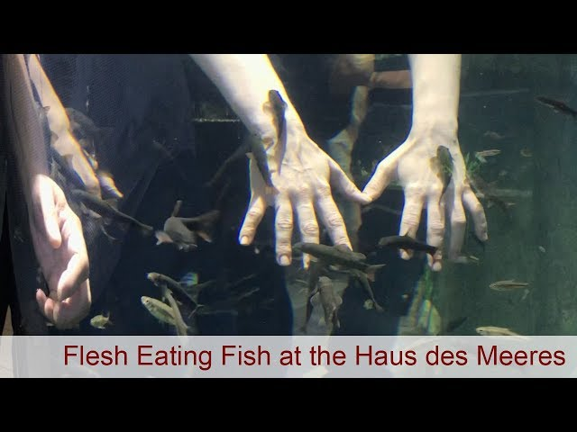 Flesh eating fish at the Haus des Meeres