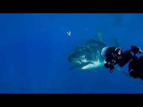 Guadalupe Island October 2015 large 16ft Female Great White Shark named (Emma)