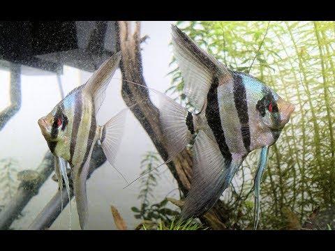 Altum Angelfish Pairing Off?? 4K