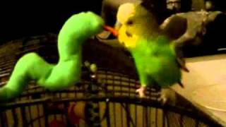 Budgie playing with Snake, Funny Bird Bicir