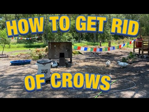 How To Get Rid Of Crows!