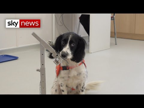 Dogs sense malaria in new trial by smelling socks