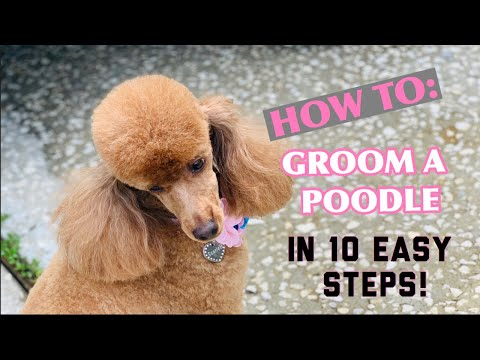 HOW TO GROOM A POODLE IN A LAMB CLIP IN 10 SIMPLE STEPS ✂