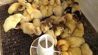 Мускусные утки// Гибридики какие они?😍